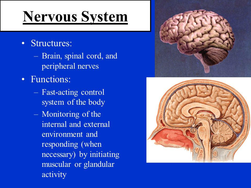 Nervous System Structures: Functions: