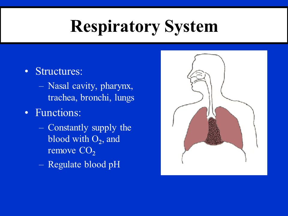 Respiratory System Structures: Functions: