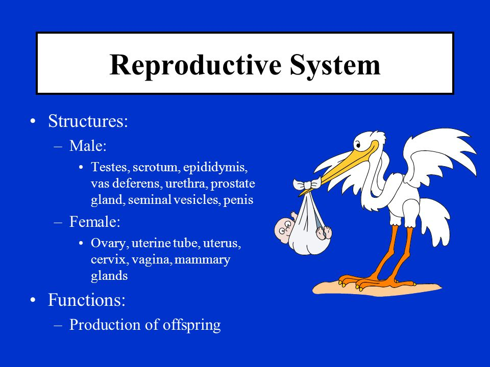 Reproductive System Structures: Functions: Male: Female: