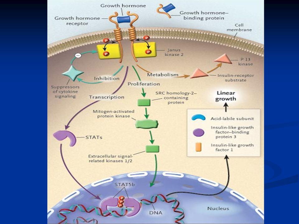 Growth Hormone-Activated Intracellular Signaling