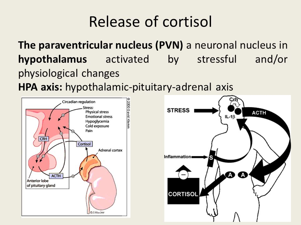 Release of cortisol The paraventricular nucleus (PVN) a neuronal nucleus in hypothalamus activated by stressful and/or physiological changes.