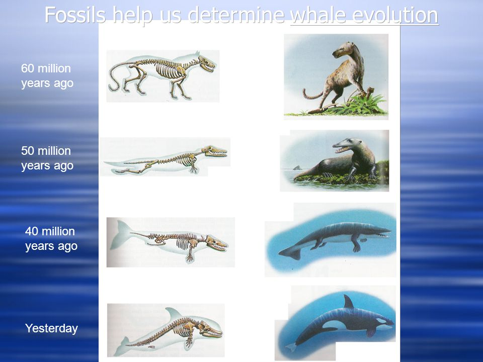 Fossils help us determine whale evolution