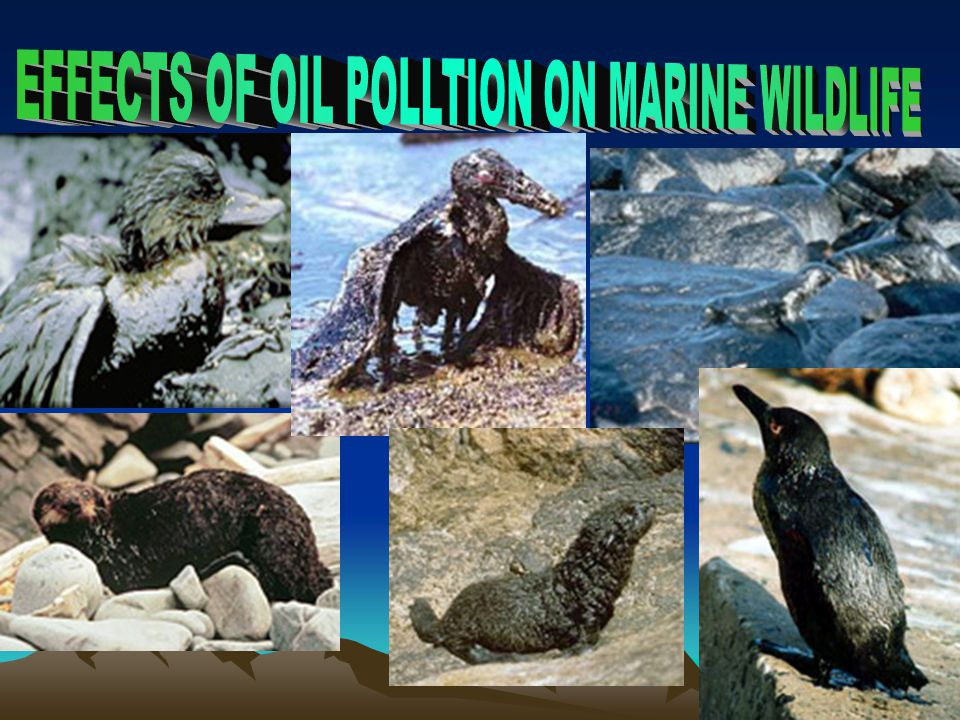 EFFECTS OF OIL POLLTION ON MARINE WILDLIFE