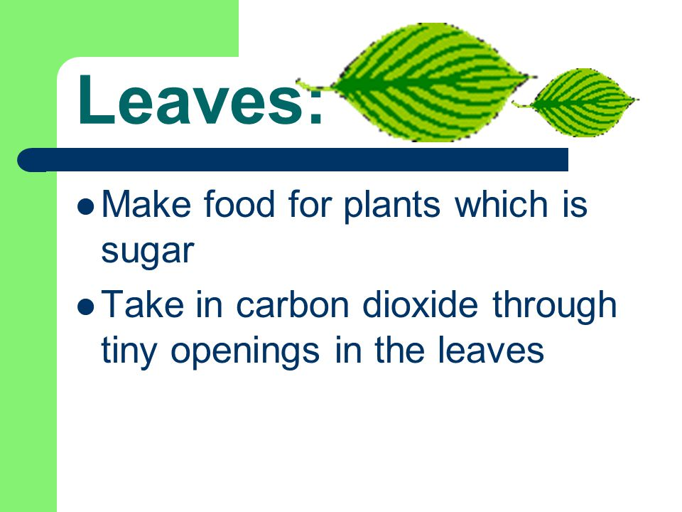 Leaves: Make food for plants which is sugar