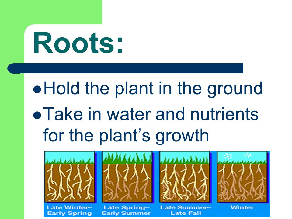 Roots: Hold the plant in the ground