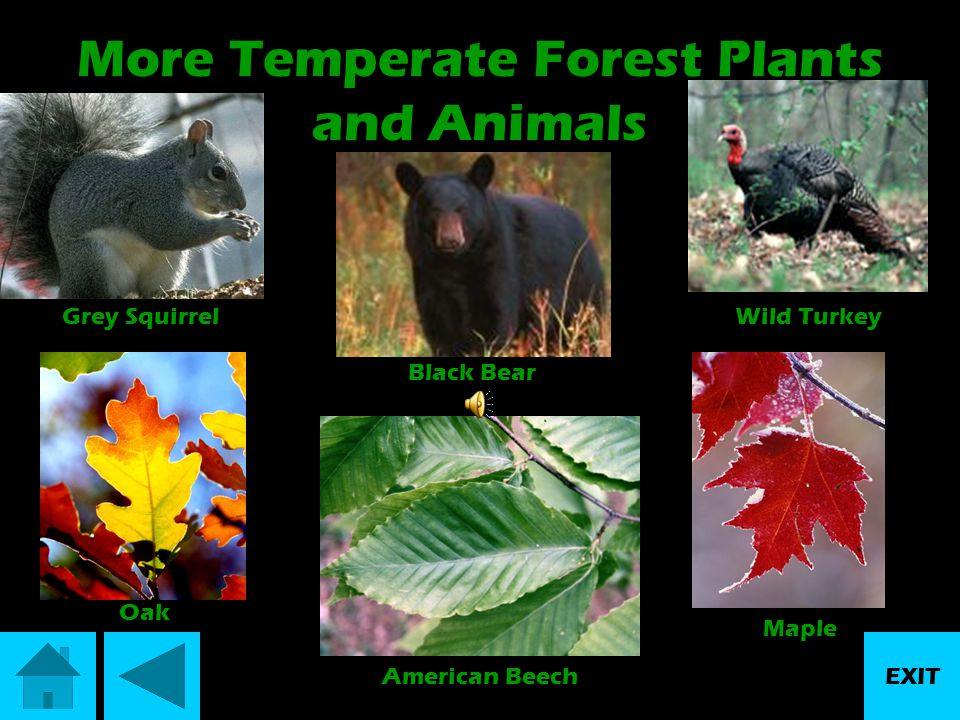 More Temperate Forest Plants and Animals