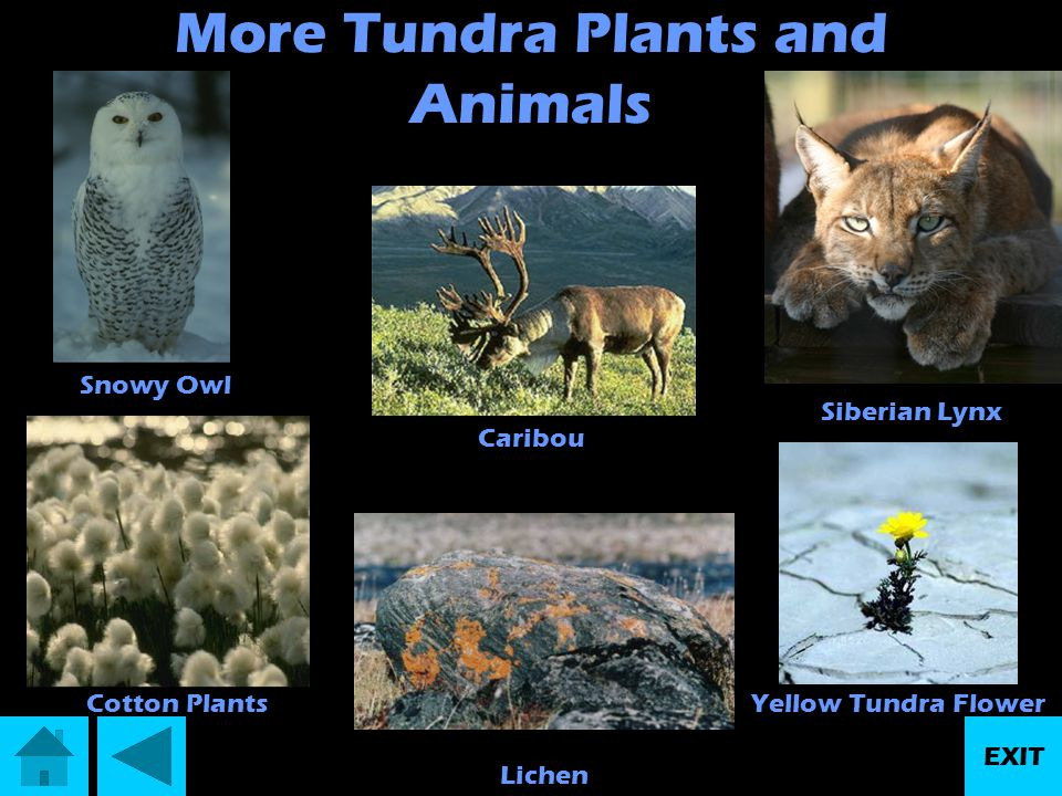 More Tundra Plants and Animals