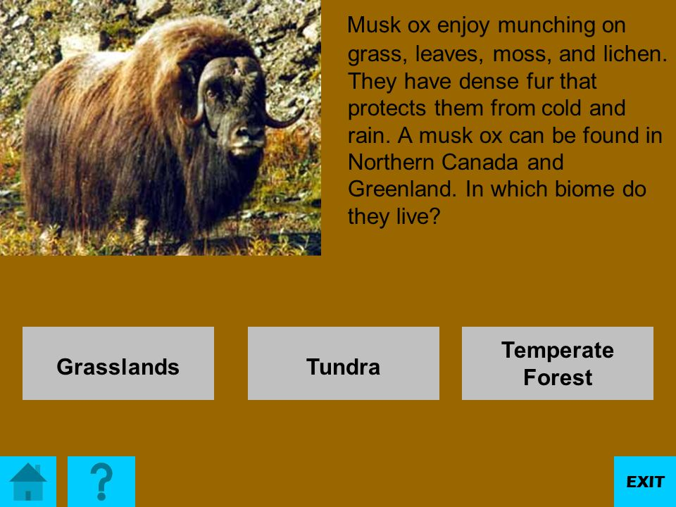 Musk ox enjoy munching on grass, leaves, moss, and lichen