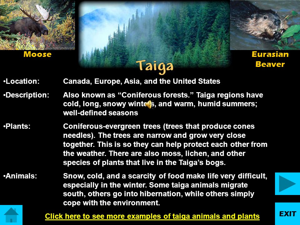 Click here to see more examples of taiga animals and plants