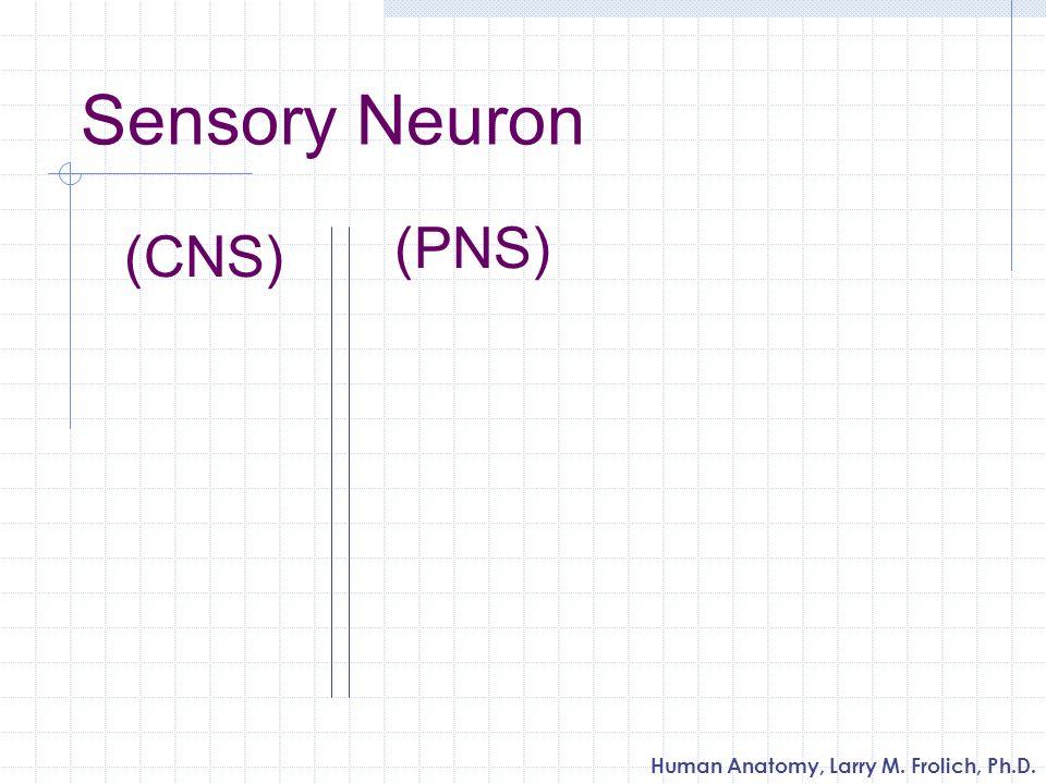 Sensory Neuron (PNS) (CNS)