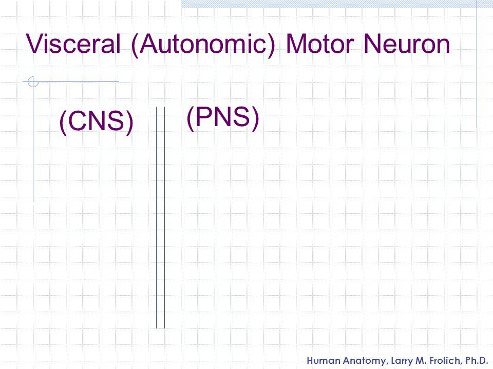 Visceral (Autonomic) Motor Neuron