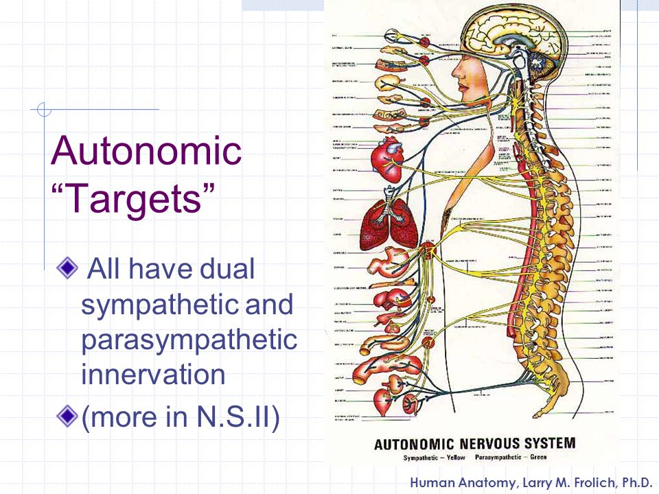 Autonomic Targets All have dual sympathetic and parasympathetic innervation (more in N.S.II)