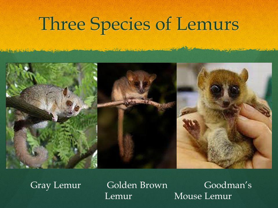 Three Species of Lemurs