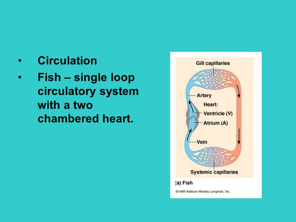 Circulation Fish – single loop circulatory system with a two chambered heart.