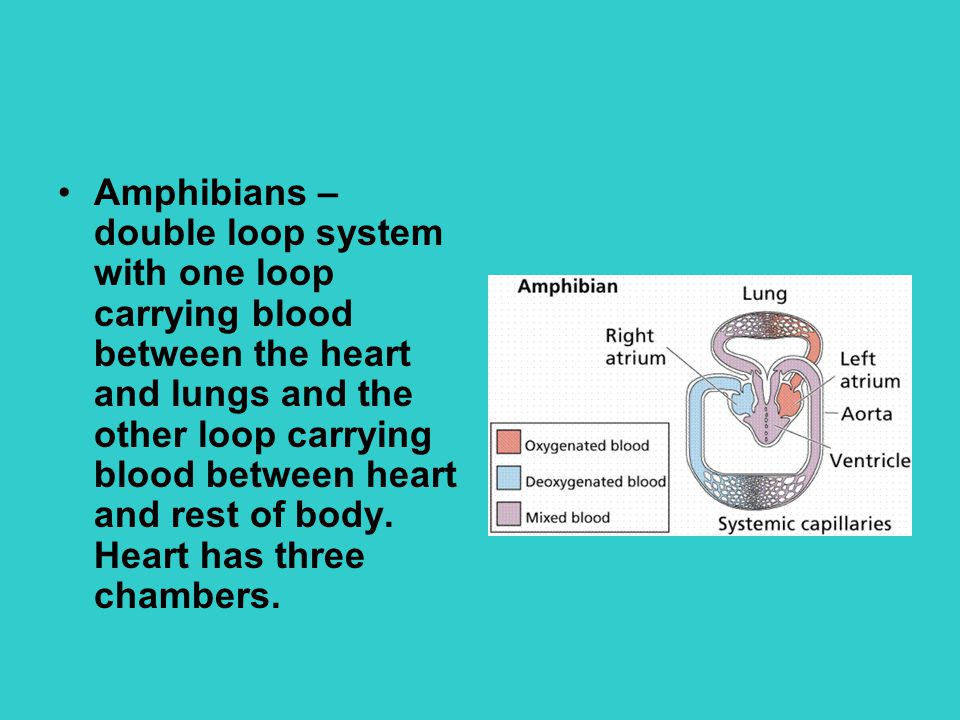 Amphibians – double loop system with one loop carrying blood between the heart and lungs and the other loop carrying blood between heart and rest of body.