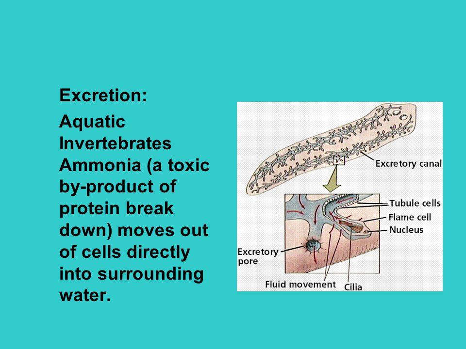 Excretion: Aquatic Invertebrates Ammonia (a toxic by-product of protein break down) moves out of cells directly into surrounding water.