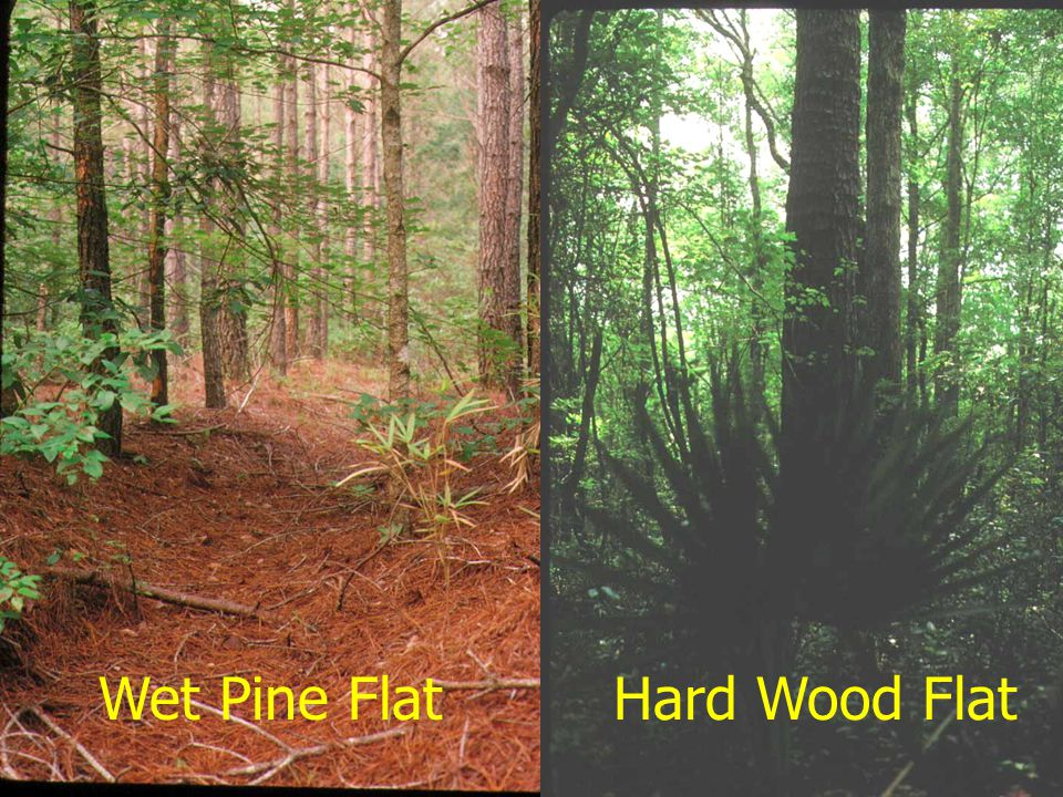 Wet Pine Flat Hard Wood Flat January 2002