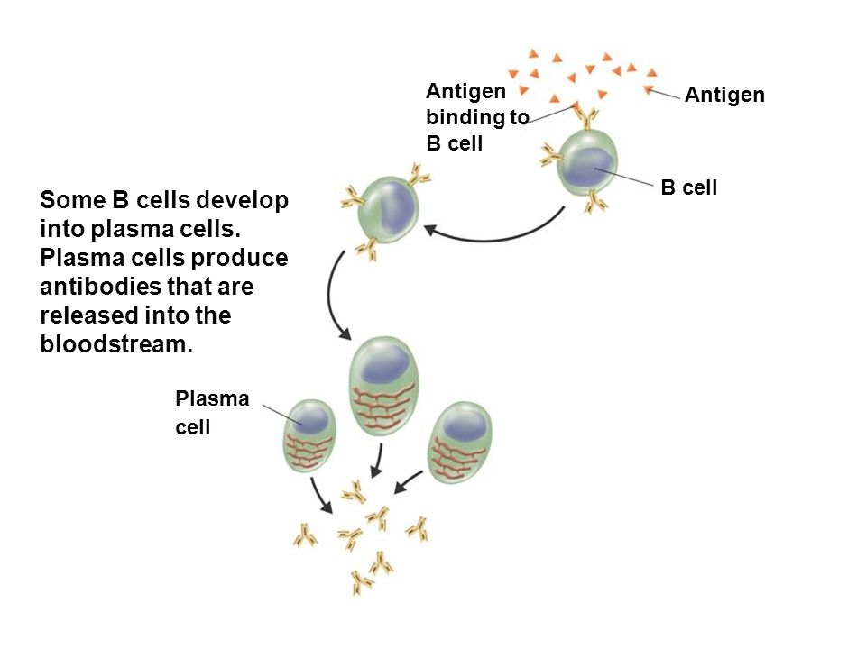Antigen binding to B cell
