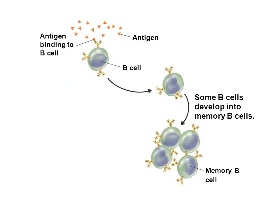 Specific Defenses Some B cells develop into memory B cells.