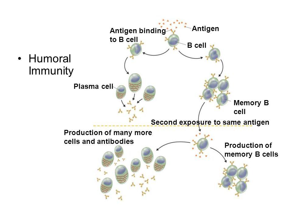 Humoral Immunity Antigen Antigen binding to B cell B cell Plasma cell