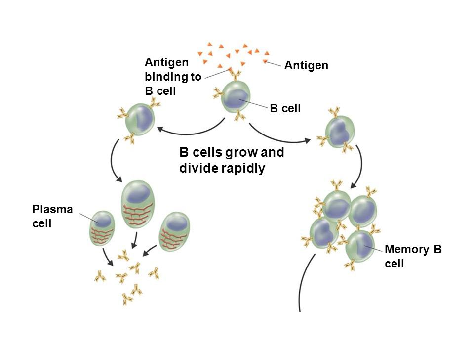 B cells grow and divide rapidly