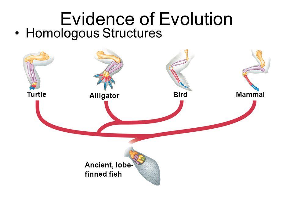 Evidence of Evolution Homologous Structures Turtle Alligator Bird
