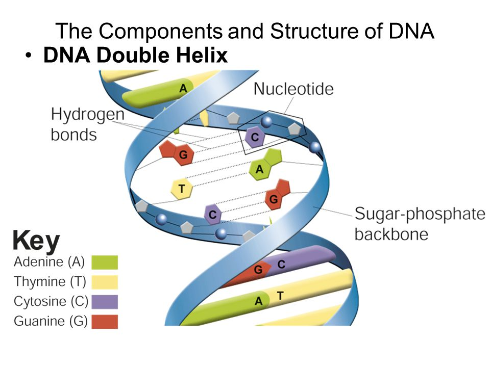 the importance of nucleotides in the structure of the dna Nucleotides are basically the subunits of dna and the monomers of dna and rna they are the 'recipes' that make up our genetic code (the body's cookbook for proteins) alterations to these sequences of nucleotides can lead to changes in the proteins produced by the body, and this in turn can have serious consequences to the health.