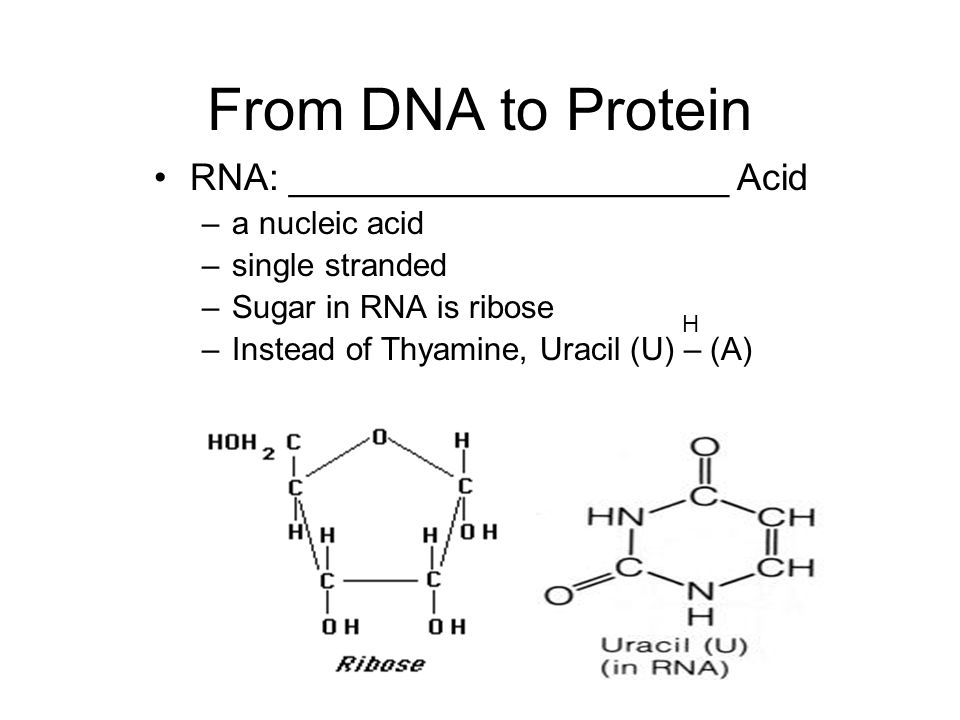From DNA to Protein RNA: _____________________ Acid a nucleic acid
