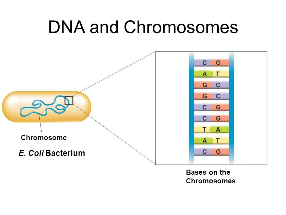 DNA and Chromosomes E. Coli Bacterium Chromosome