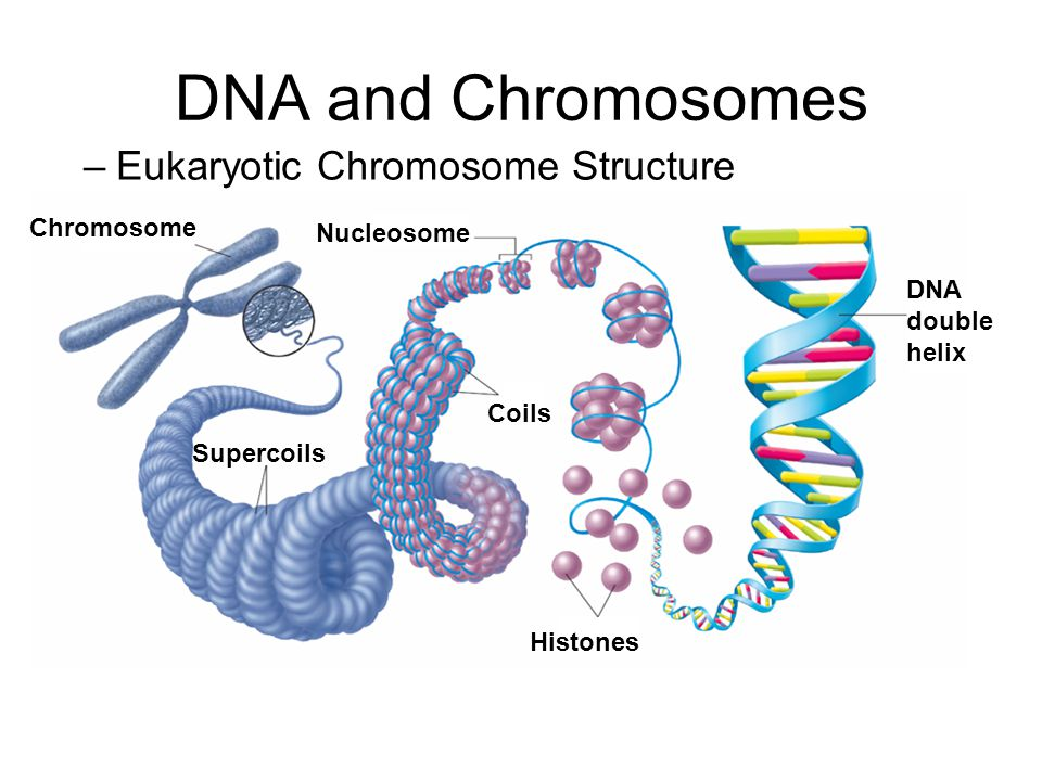 DNA and Chromosomes Eukaryotic Chromosome Structure Chromosome