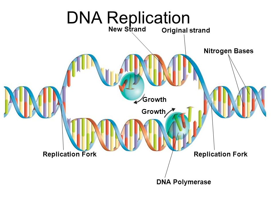 DNA Replication New Strand Original strand Nitrogen Bases Growth