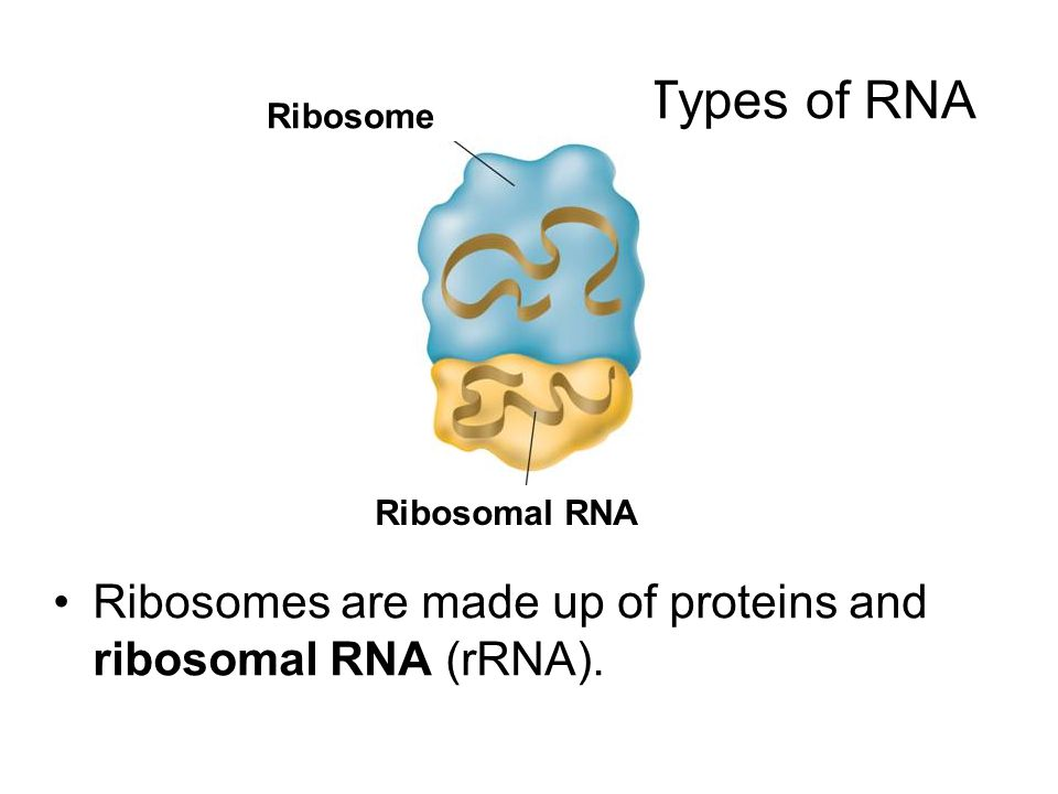 Types of RNA Ribosome. Ribosomal RNA.