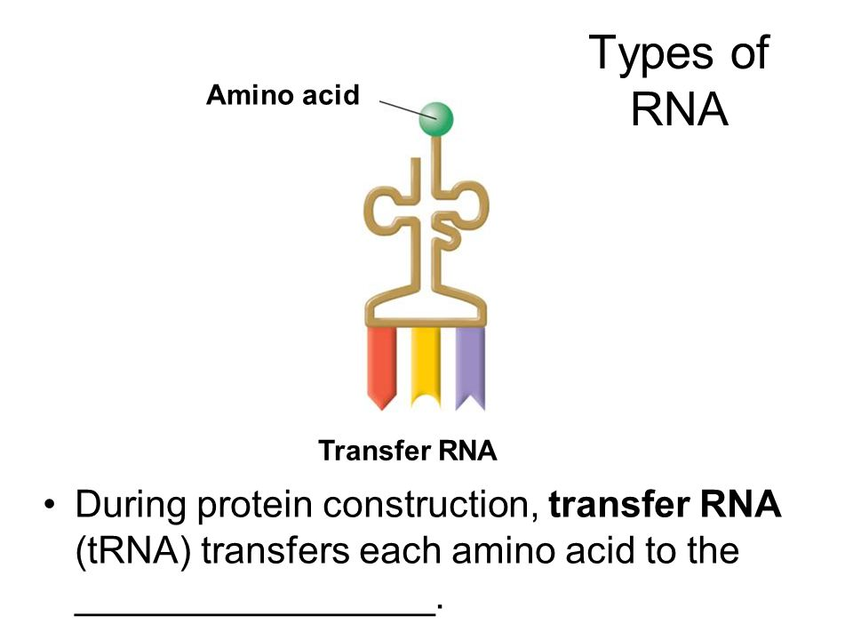 Types of RNA Amino acid. The three main types of RNA are messenger RNA, ribosomal RNA, and transfer RNA.