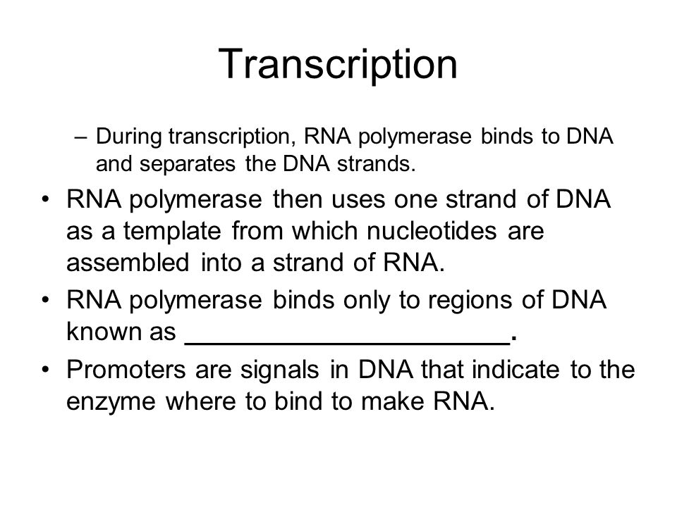 Transcription During transcription, RNA polymerase binds to DNA and separates the DNA strands.