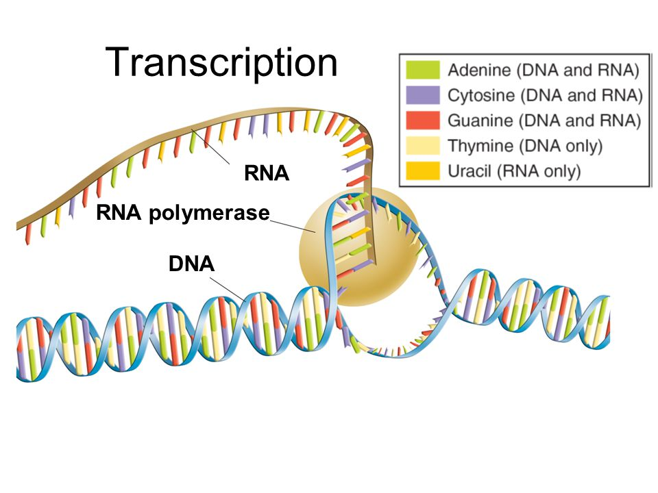 Transcription RNA RNA polymerase DNA