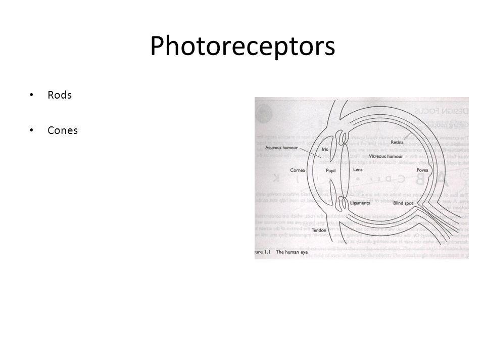 Photoreceptors Rods Cones