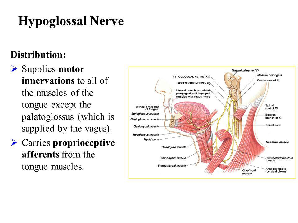 Hypoglossal Nerve Distribution: