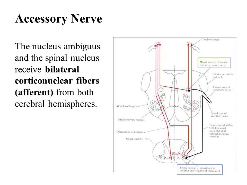 Accessory Nerve The nucleus ambiguus and the spinal nucleus receive bilateral corticonuclear fibers (afferent) from both cerebral hemispheres.