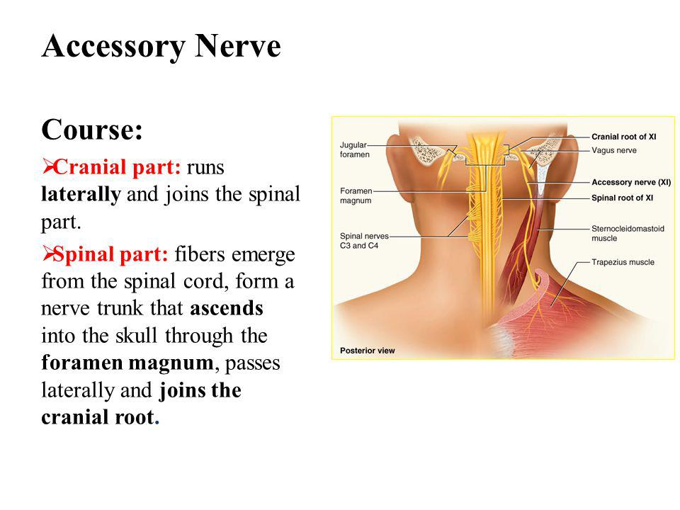 Accessory Nerve Course: