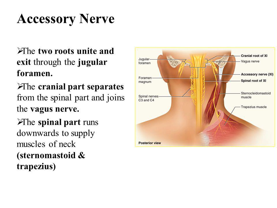 Accessory Nerve The two roots unite and exit through the jugular foramen. The cranial part separates from the spinal part and joins the vagus nerve.