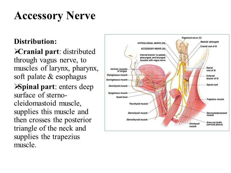 Accessory Nerve Distribution: