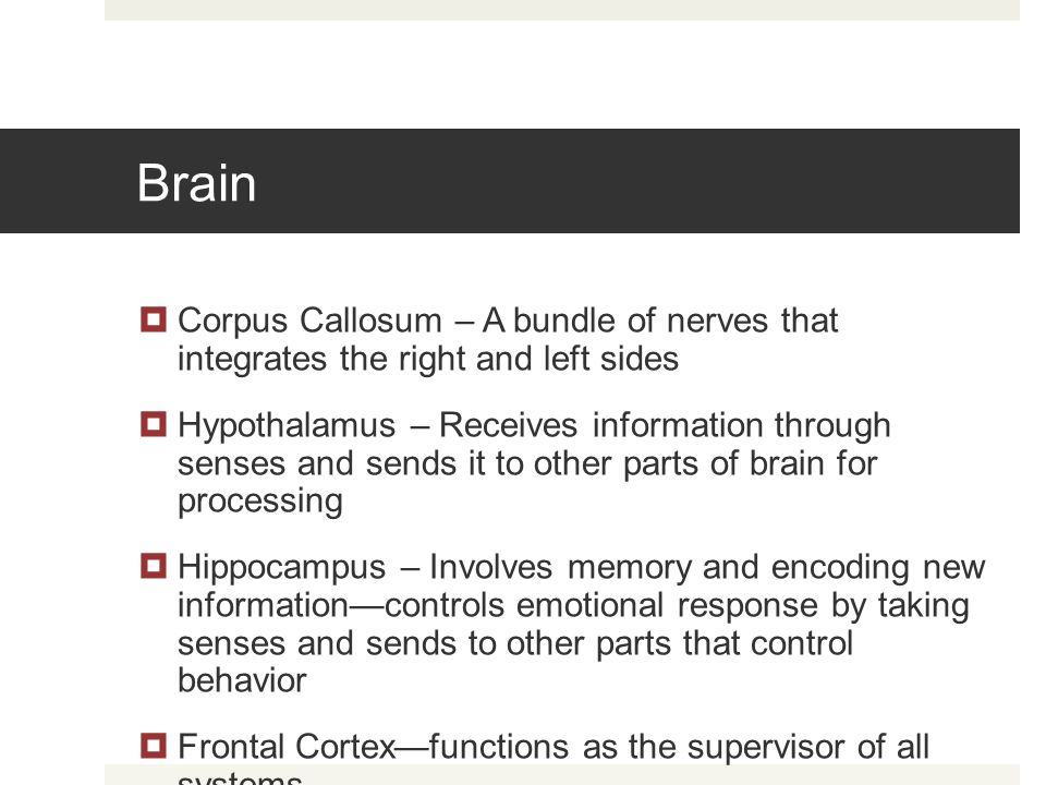 Brain Corpus Callosum – A bundle of nerves that integrates the right and left sides.