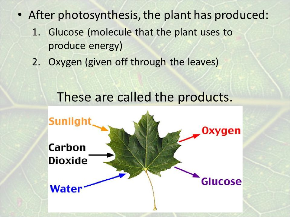 After photosynthesis, the plant has produced: