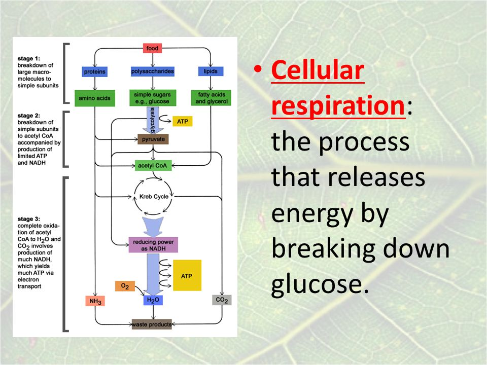 Cellular respiration: the process that releases energy by breaking down glucose.