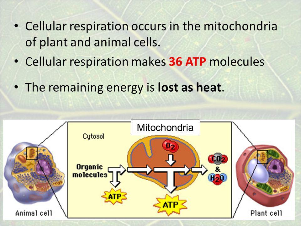 Cellular respiration makes 36 ATP molecules