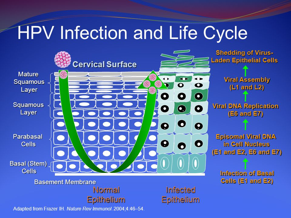 HPV Infection and Life Cycle