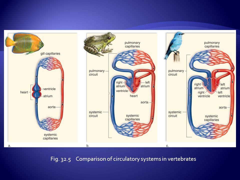 Fig. 32.5 Comparison of circulatory systems in vertebrates