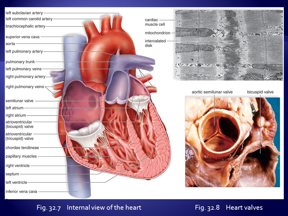 Fig. 32.7 Internal view of the heart