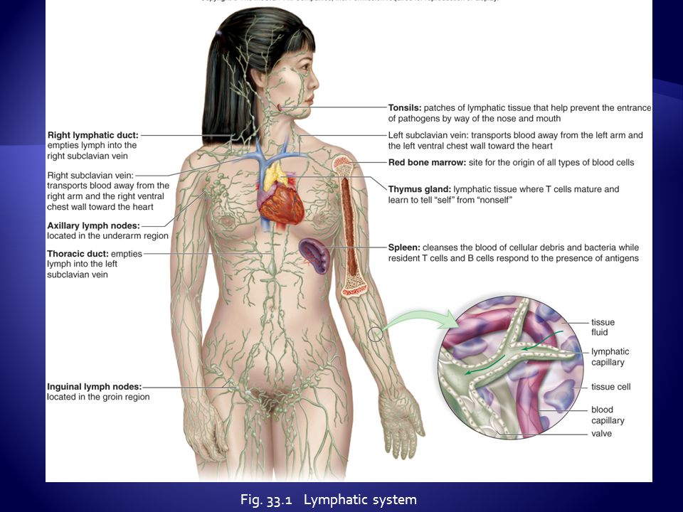 Fig. 33.1 Lymphatic system
