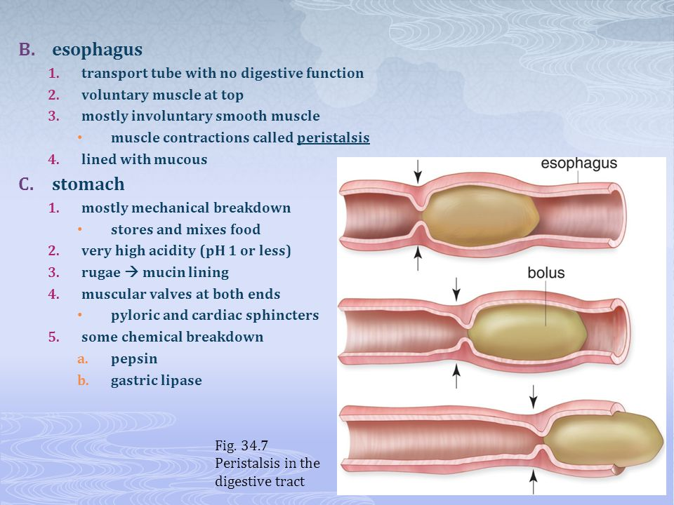 esophagus stomach transport tube with no digestive function